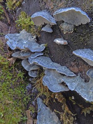 Spongiporus subcaesius - Vaalblauwe kaaszwam