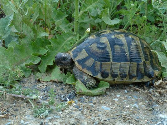 Testudo graeca iberica (Moorse landschildpad)