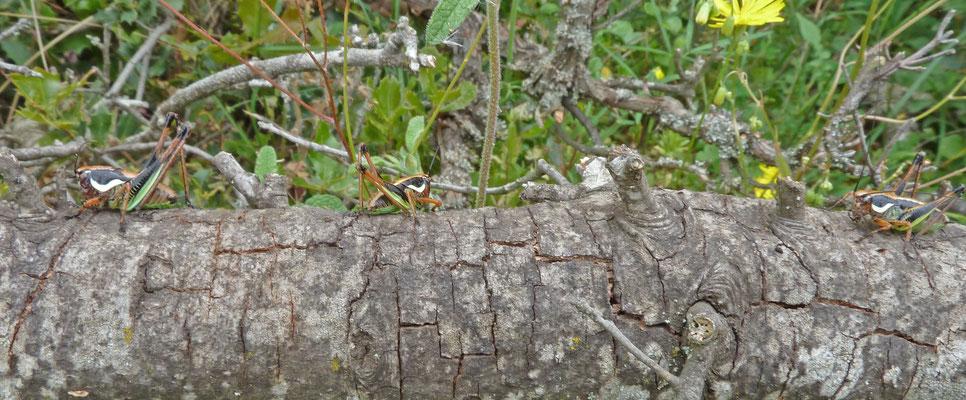 Pholidoptera fallax