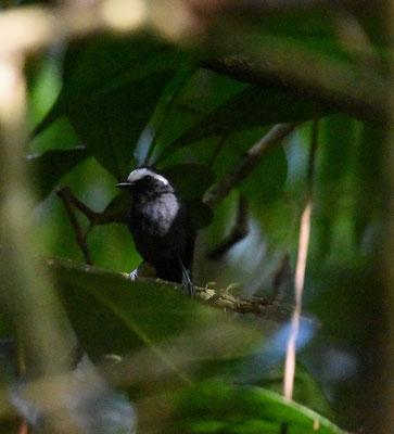 White-browed Antbird