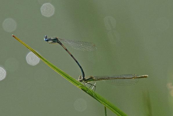 Blauwe breedscheenjuffer (Platycnemis pennipes)