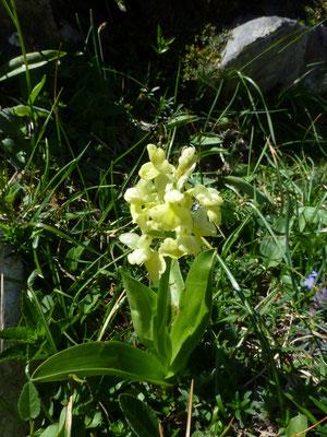 Dactylorhiza sambucina sambucina - Gele vlierorchis