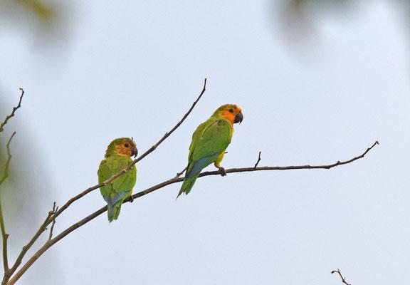 Brown-throated Parakeet (Maisparkiet)