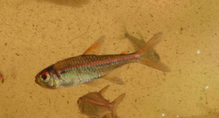 Hyphessobrycon sp 'redline'