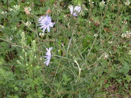 Cichorium intybus - Wilde cichorei