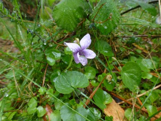 Viola palustris - Moerasviooltje