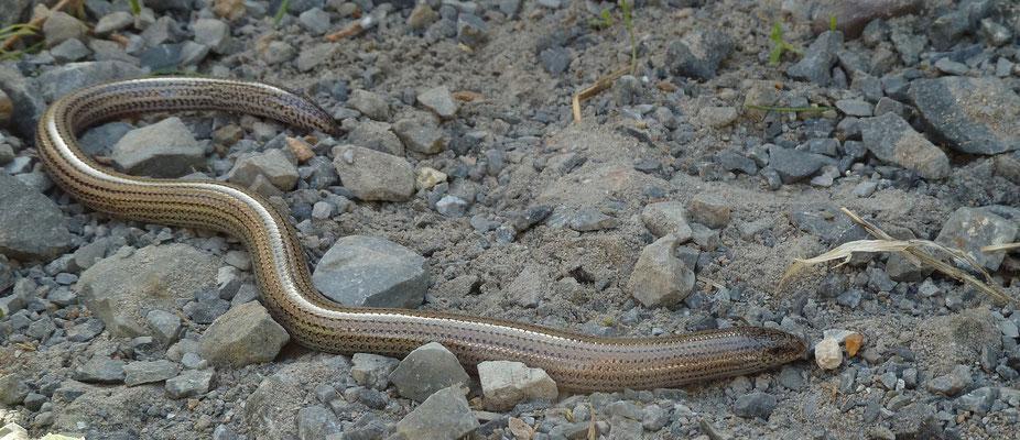 Ophiomorus punctatissimus - Gevlekte slangskink