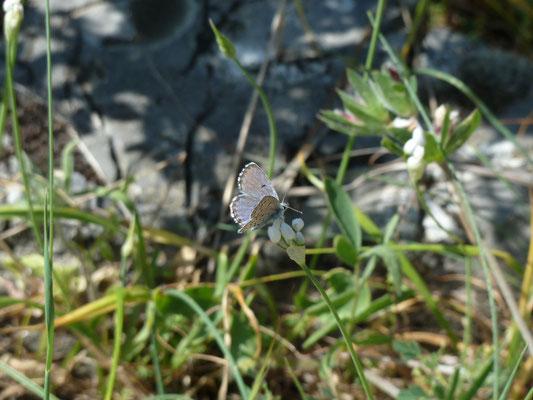 Pseudophilotes vicrama