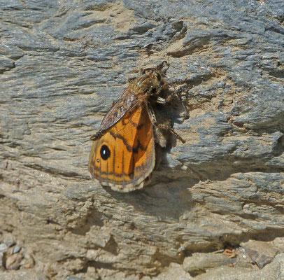 Philonicus species met Argusvlinder (Macedonië, Griekenland)