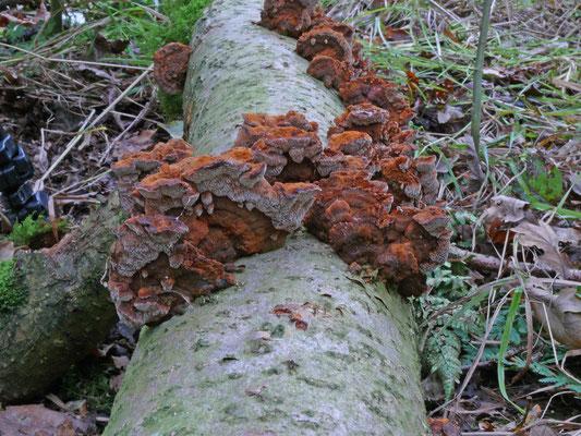 Inonotus radiatus - Elzenweerschijnzwam