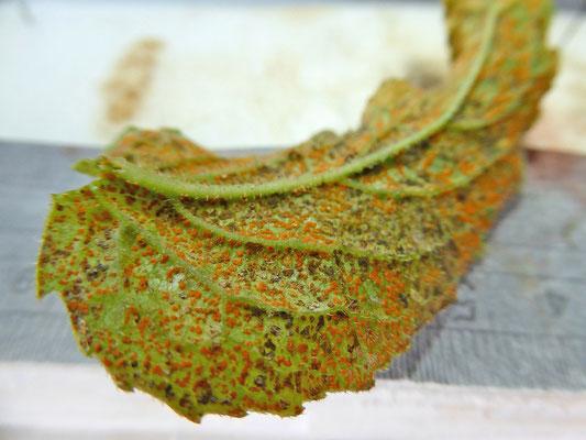 Coleosporium tussilaginis - Algemene oranje roest