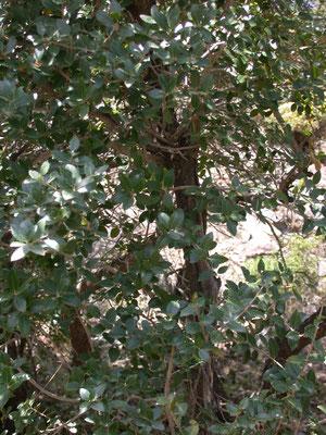 Quercus coccifera - Hulsteik, Kermeseik