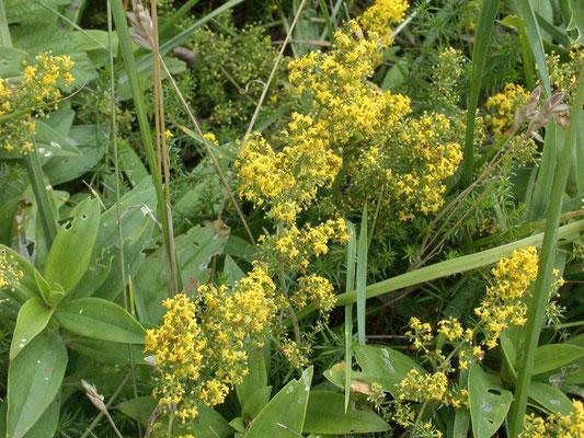 Galium verum verum - Geel walstro