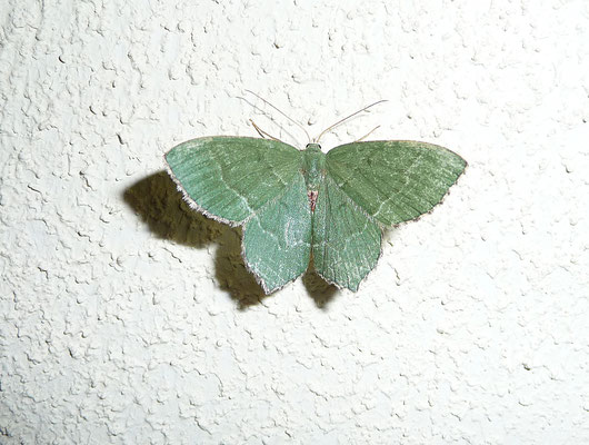 Hemithaea aestivaria - Kleine zomervlinder