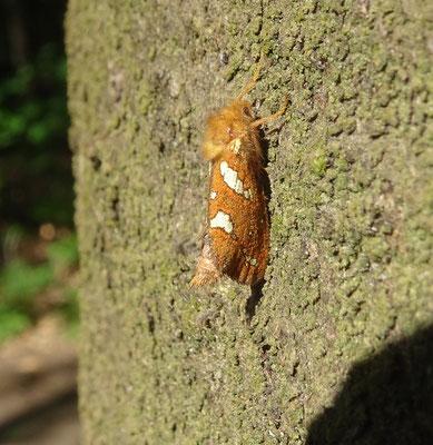 Phymatopus hecta - Heidewortelboorder