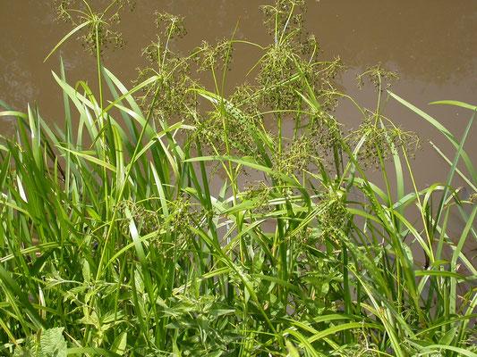 Scirpus sylvaticus - Bosbies