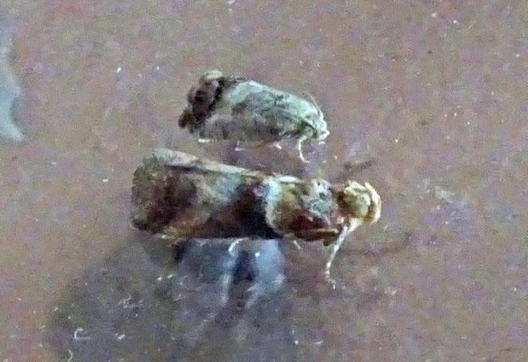 Acrobasis tumidana - Rode eikenlichtmot