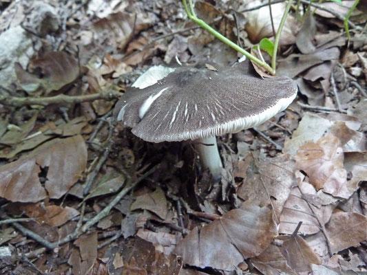 Tricholoma myomyces - Muisgrijze ridderzwam