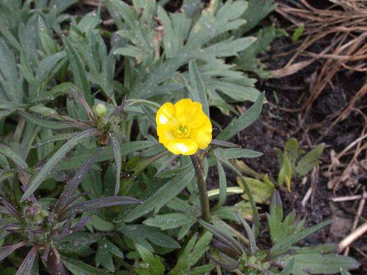 Ranunculus acris - Scherpe boterbloem