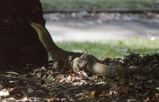 Varanus gouldii - Gould's Monitor