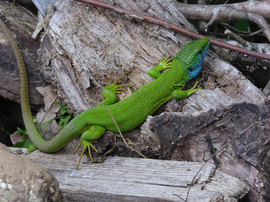 Lacerta viridis - Oostelijke smaragdhagedis
