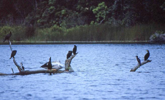 verschillende soorten aalscholvers (Cormorants)