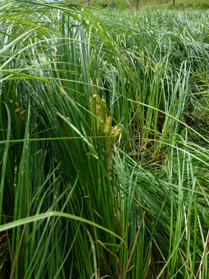 Carex rostrata - Snavelzegge