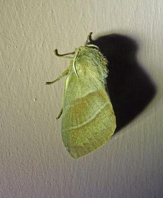 Veelvraat (Macrothylacia rubi)