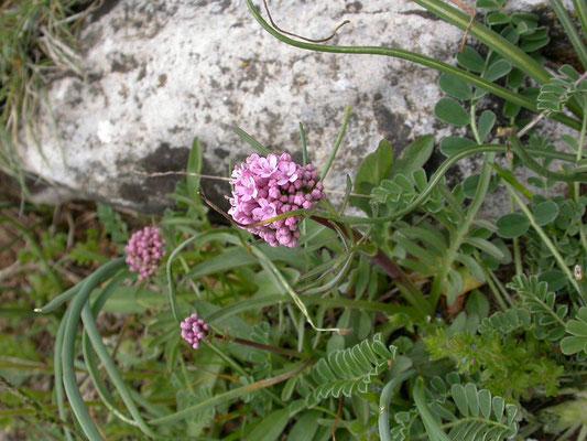 Valeriana globulariifolia