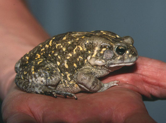 Square-marked Toad