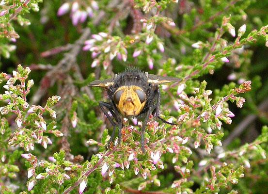 Tachina grossa - Stekelsluipvlieg