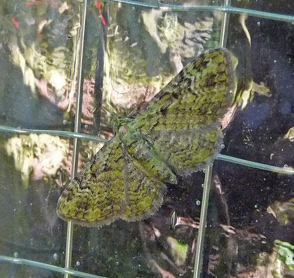 Pasiphila rectangulata - Groene dwergspanner