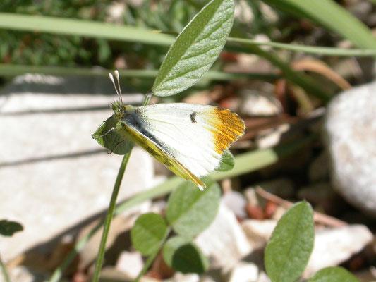 geel oranjetipje (Anthocharis euphenoides), vrouw
