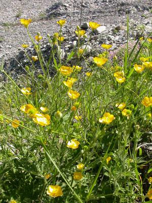 Ranunculus polyanthemos