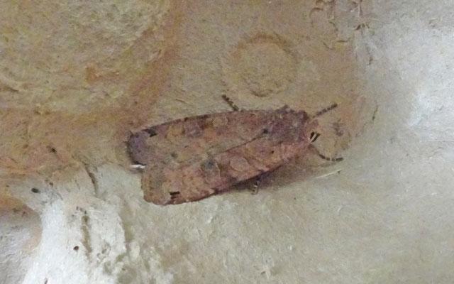 Xestia baja - Bruine zwartstipuil