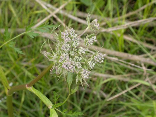 Conium maculatum - Gevlekte scheerling