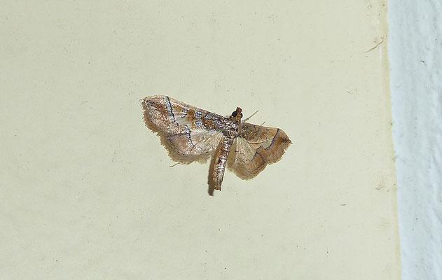 Eupithecia succenturiata - Witvlakdwergspanner