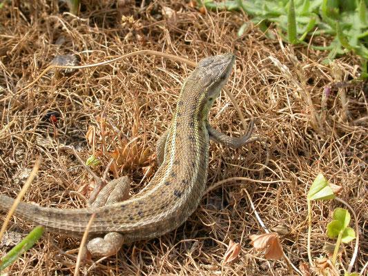 Slangooghagedis (Ophisops elegans)