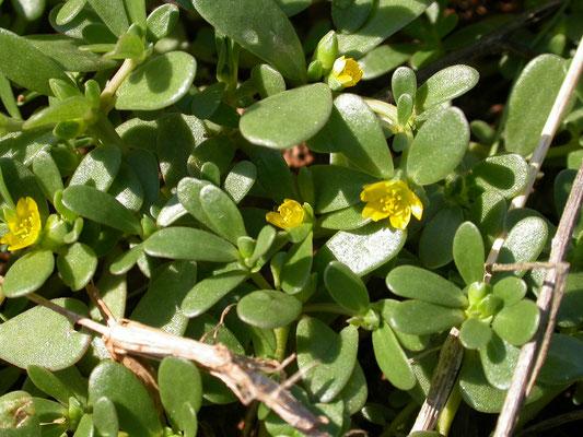 Portulaca oleracea - Postelein