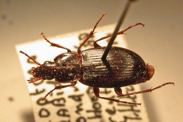 Calathus rotundicollis