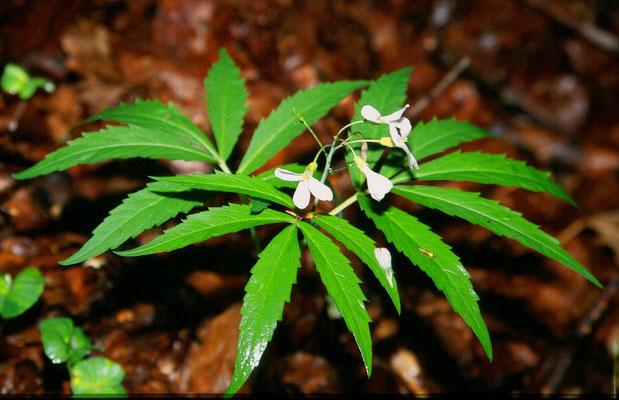 Dentaria heptaphylla - Zevenbladig tandveldkers