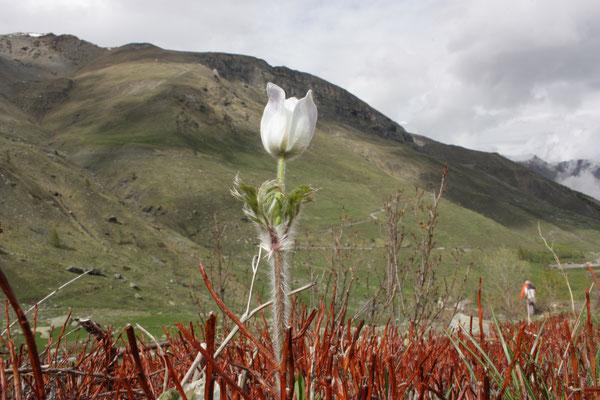 Pulsatilla alpina, foto Ruud