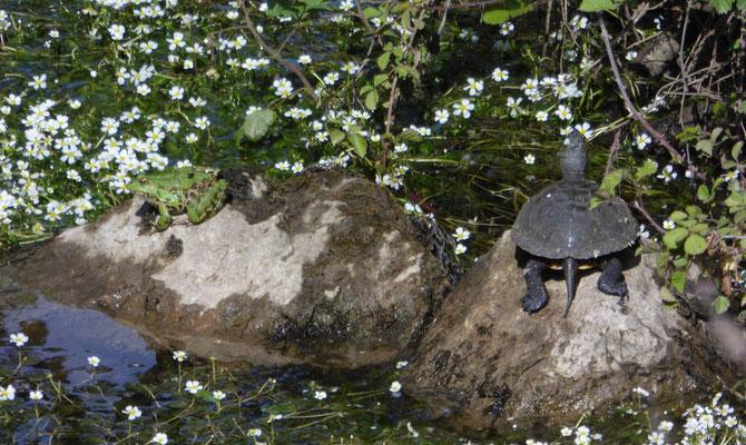 Europese moerasschildpad