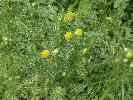 Matricaria discoidea - Schijfkamille