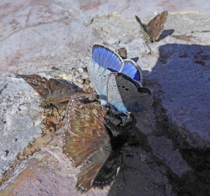 Glaucospyche alexis - bloemenblauwtje en bruin dikkopje - Erynnis tages