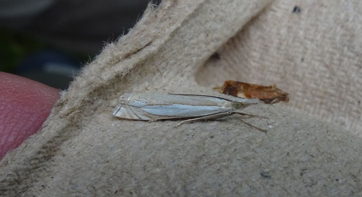 Crambus pascuella - Zilverstreepgrasmot