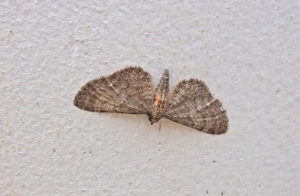 Eupithecia haworthiata - Bosrankdwergspanner