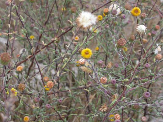 Cotula coronopifolia - Goudknopje