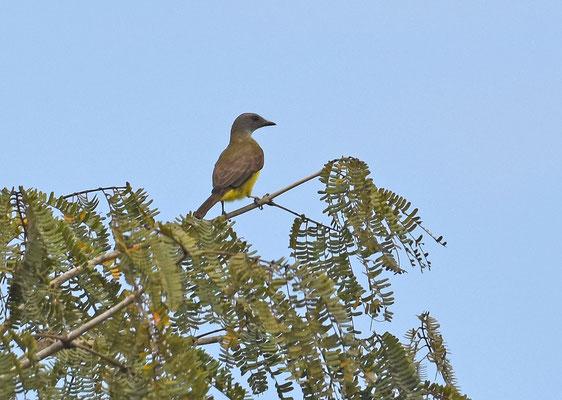 Sulphurous flycatcher