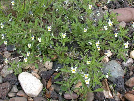 Viola arvensis - Akkerviooltje